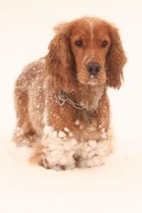 Hund i sne