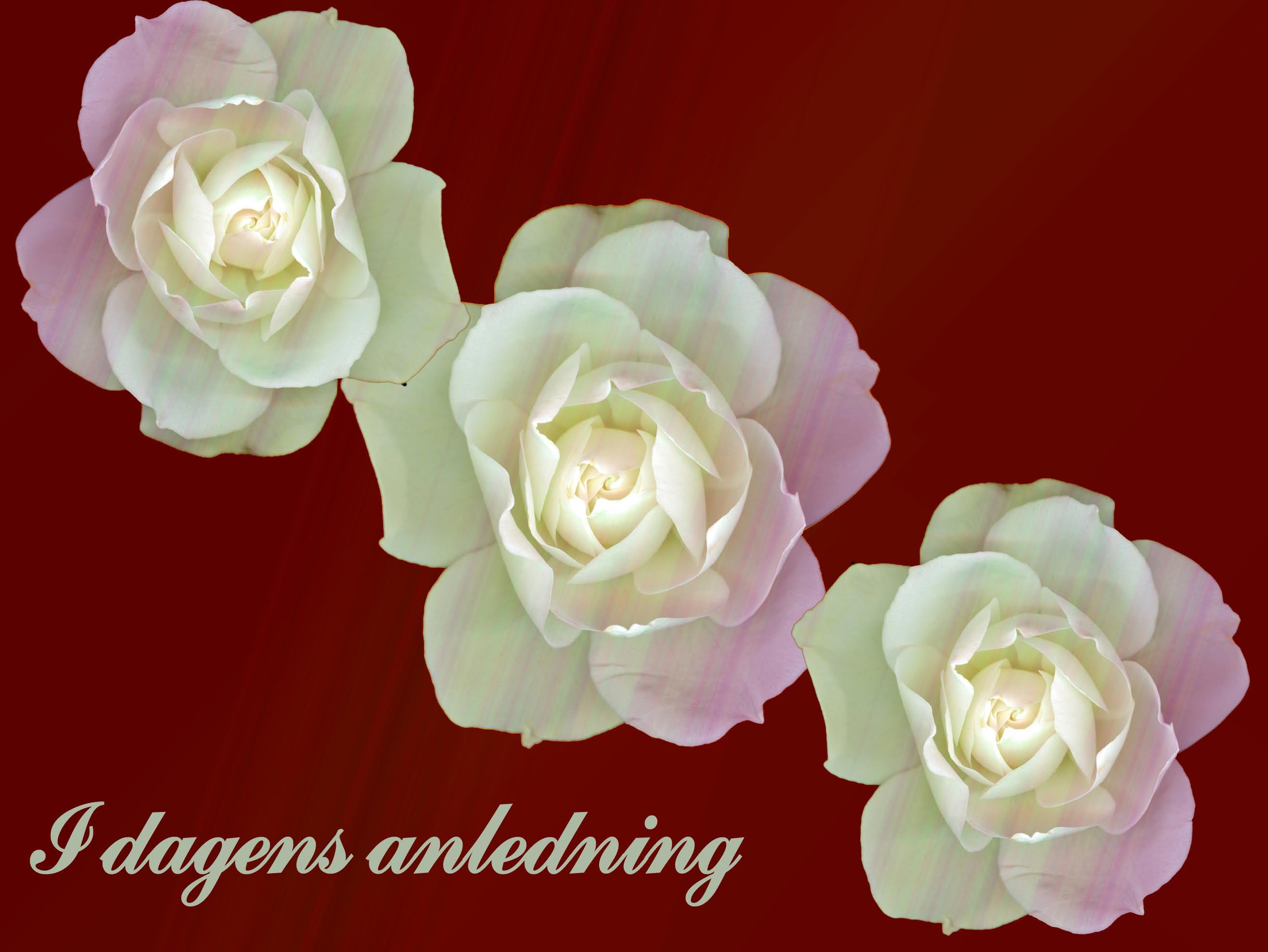 Lykønskningskort 3 roser