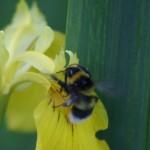 Bi og blomst