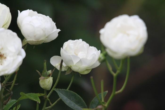 Små hvide roser