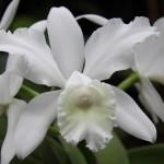 Hvid orkide