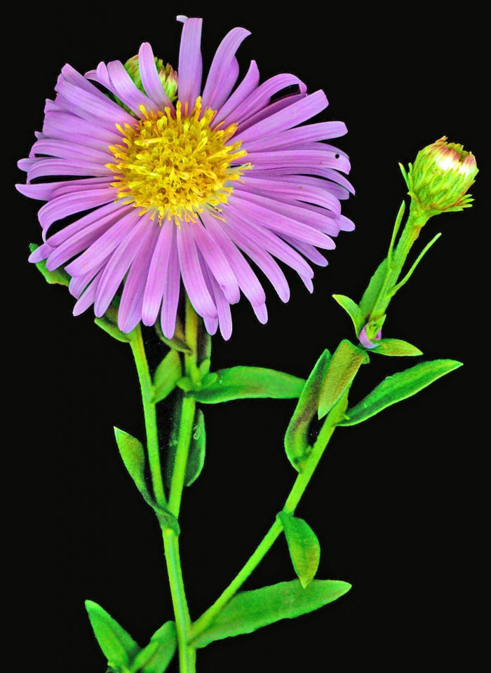 Lilla blomst på sort
