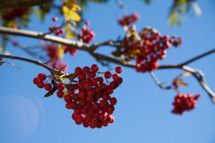 Rønnebær