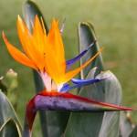 Papegøjeblomst