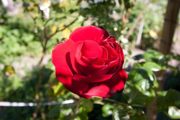 Den rødeste rose